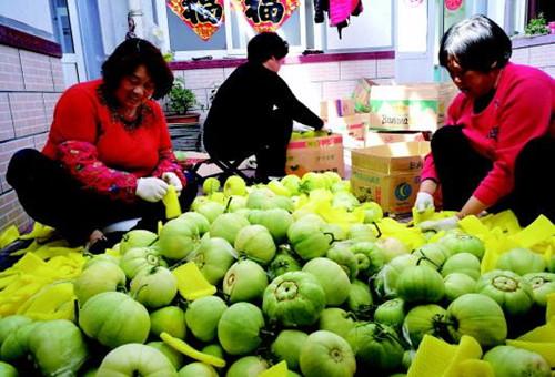 青岛市民有口福了:即墨200多亩甜瓜丰收  吸引全国各地商贩采购