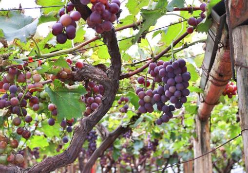 2017城阳区第十二届宫家村葡萄采摘节开幕 将持续到10月中旬
