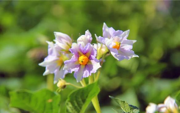 明珠国学生态农业:有一种芳菲叫土豆花开