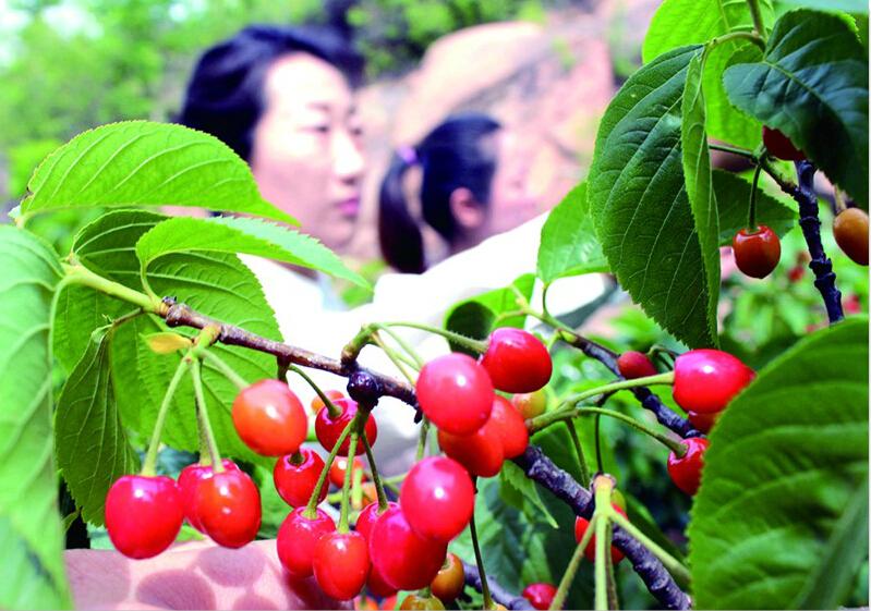 青岛崂山北宅、城阳惜福镇樱桃进入成熟期 下周迎来采摘季并将大量上市