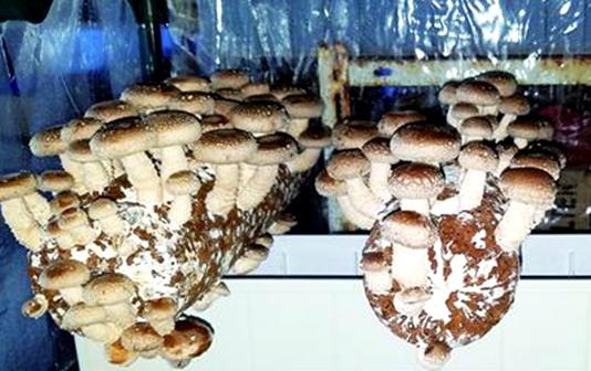 岛城家庭流行种蘑菇 不仅好看还好吃