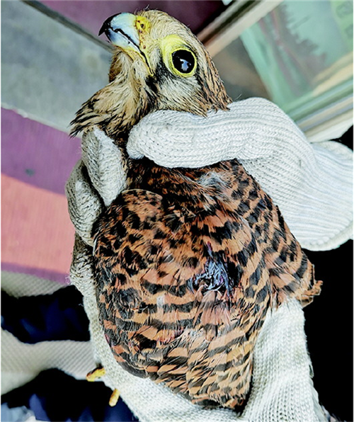 白沙河畔发现比利时国鸟 已得到妥善救治