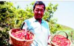 青岛2019年樱桃季已进入晚期 看崂山北宅樱桃园的光阴