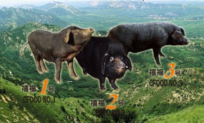 青岛禧福牧业有限公司:助力黑猪复兴发展  造就卓越品质黑猪肉
